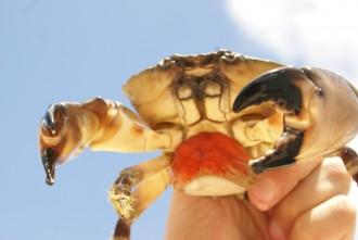 stone-crab-female
