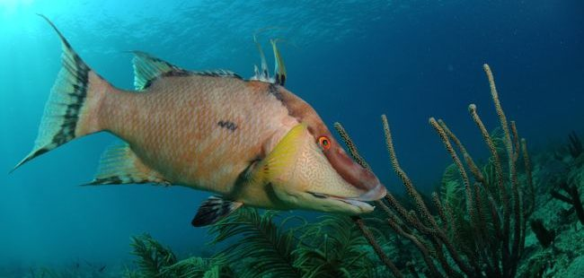 7 Things you didn't know about Hogfish